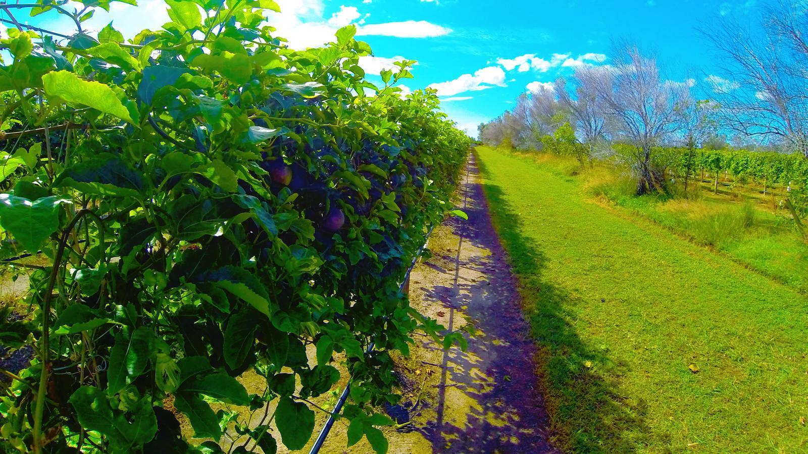 Passion fruit on vines.