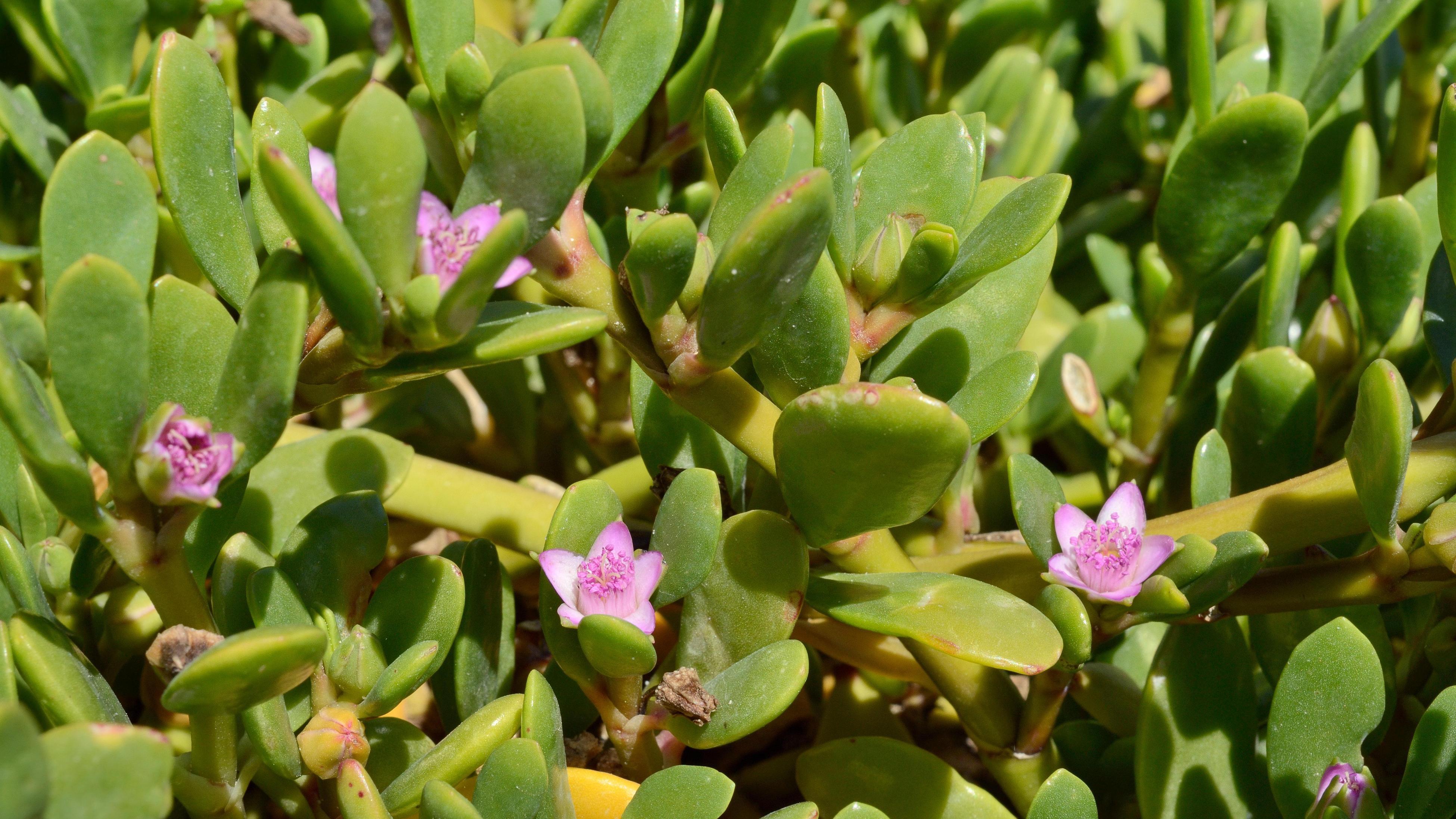 Pink flowers on sea purslane plant