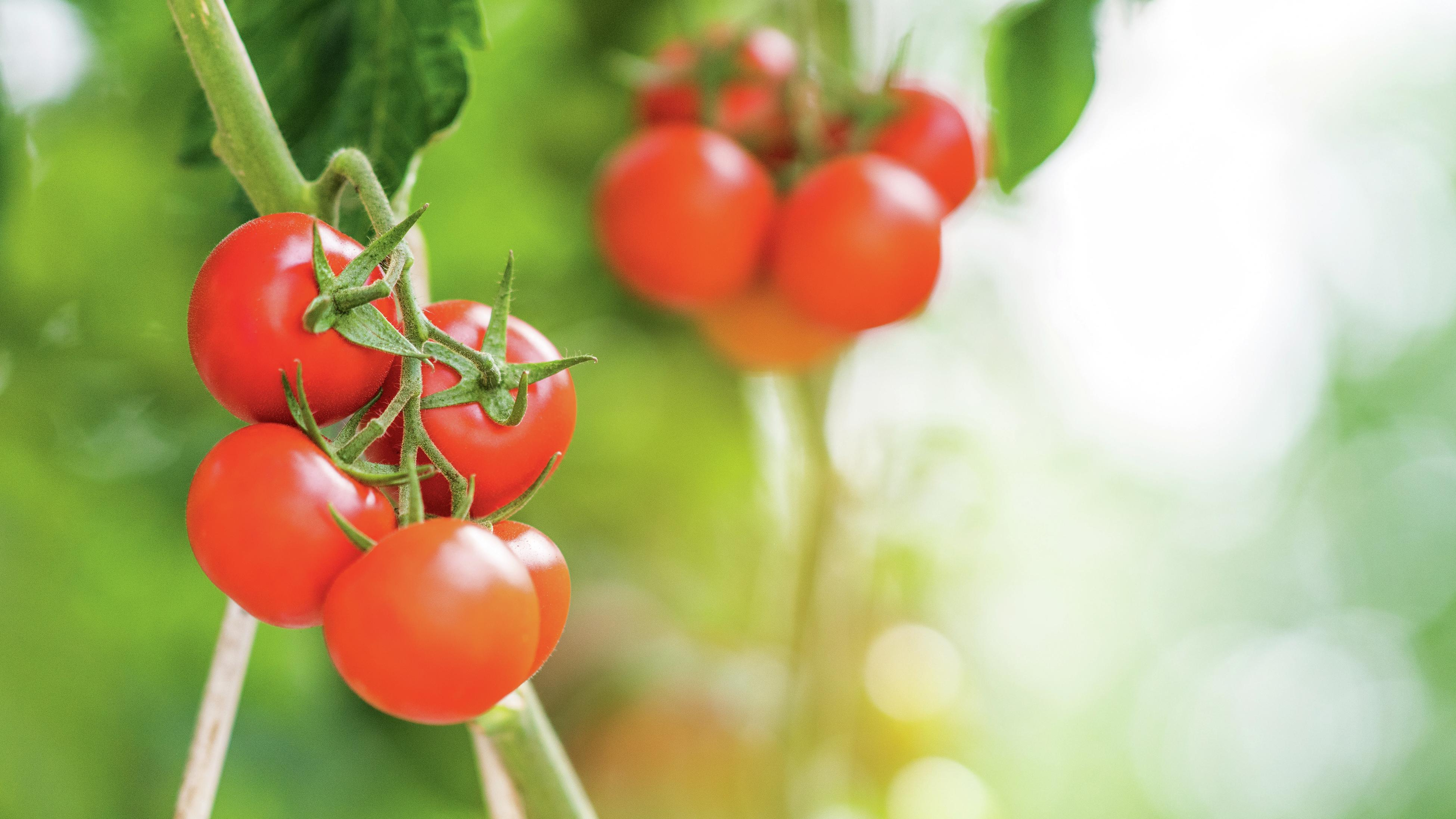 Red tomatoes growing on a vine