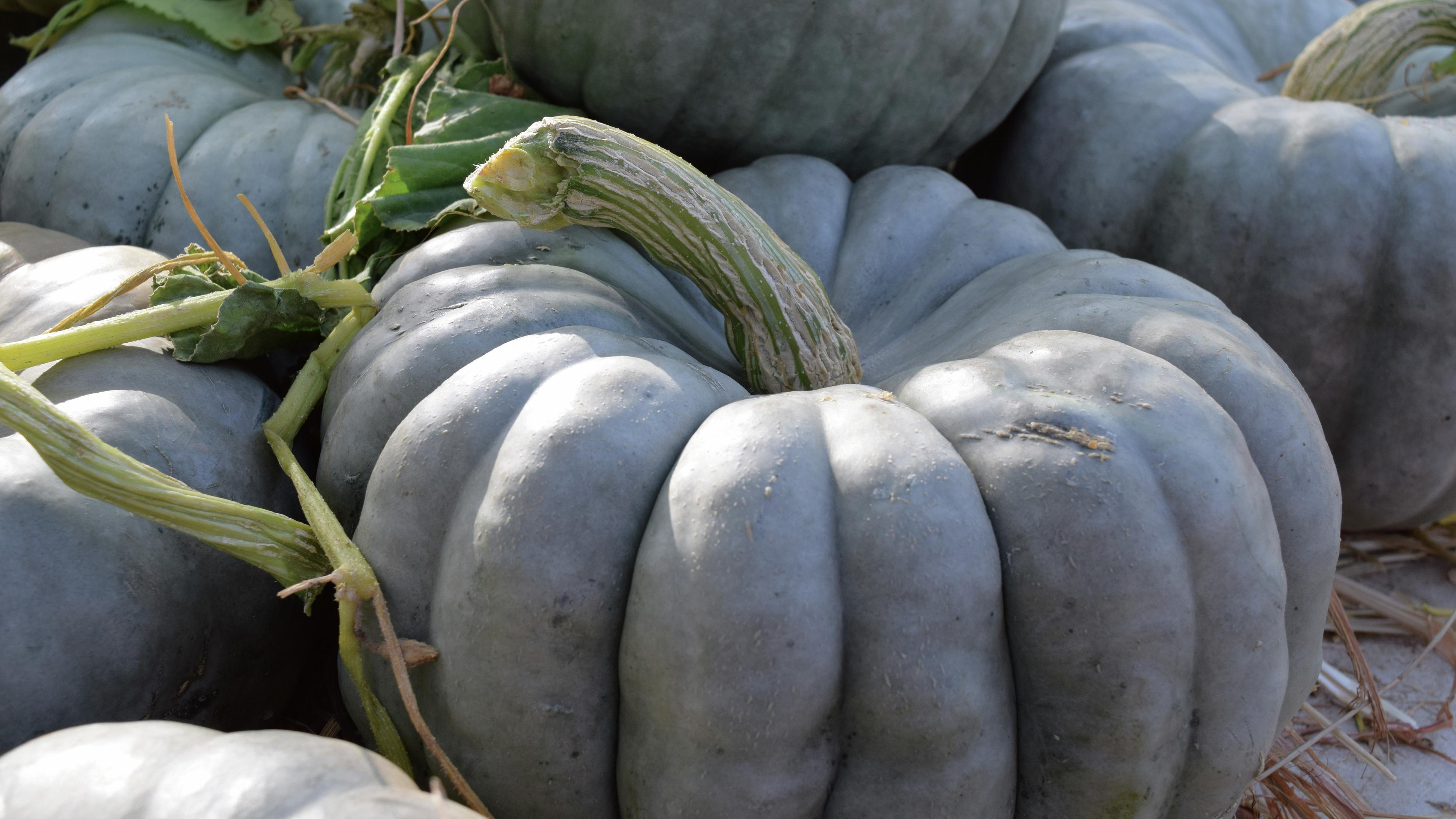 Green pumpkins on display