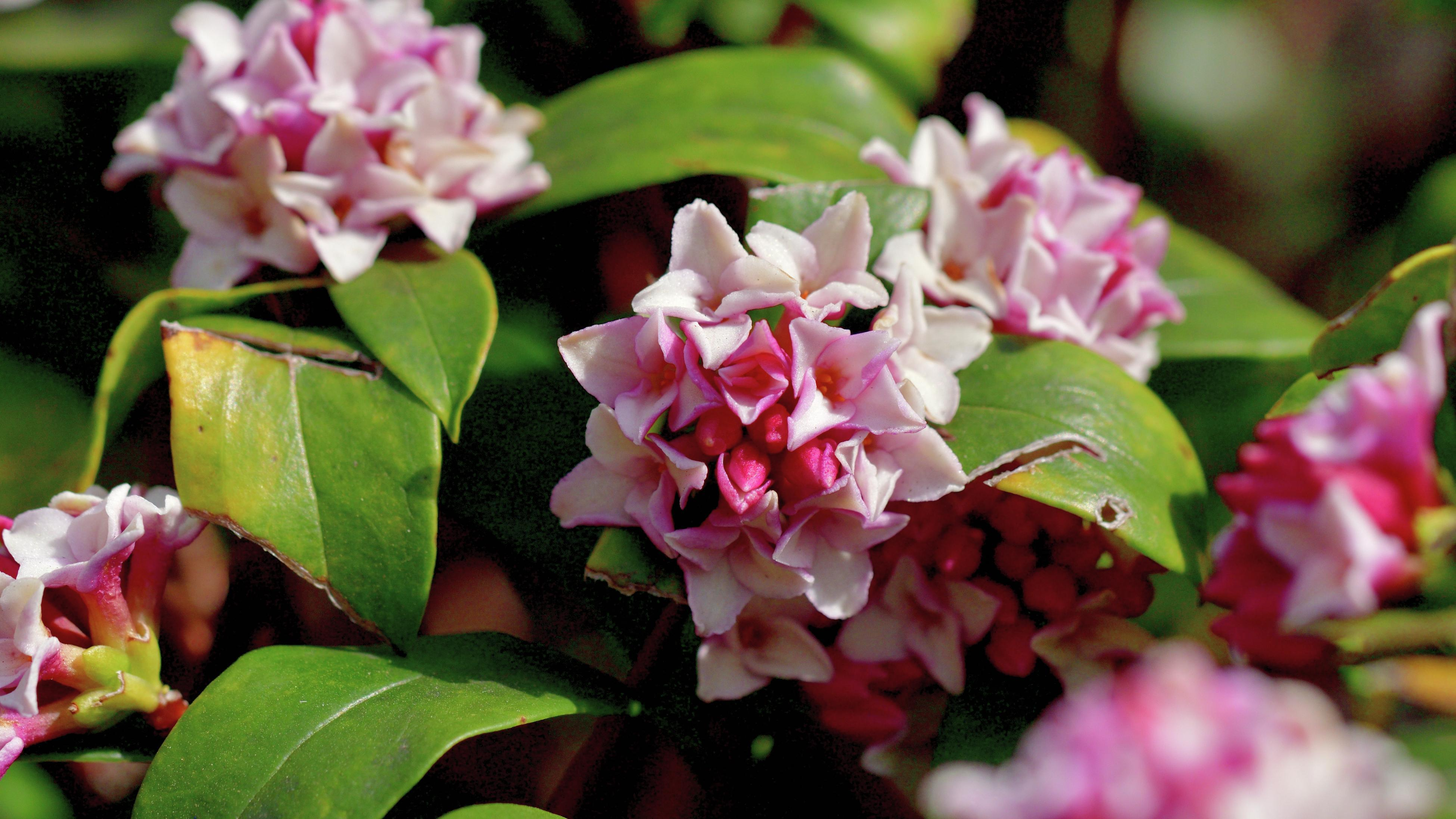 Close up of pink and white daphne flowers blooming