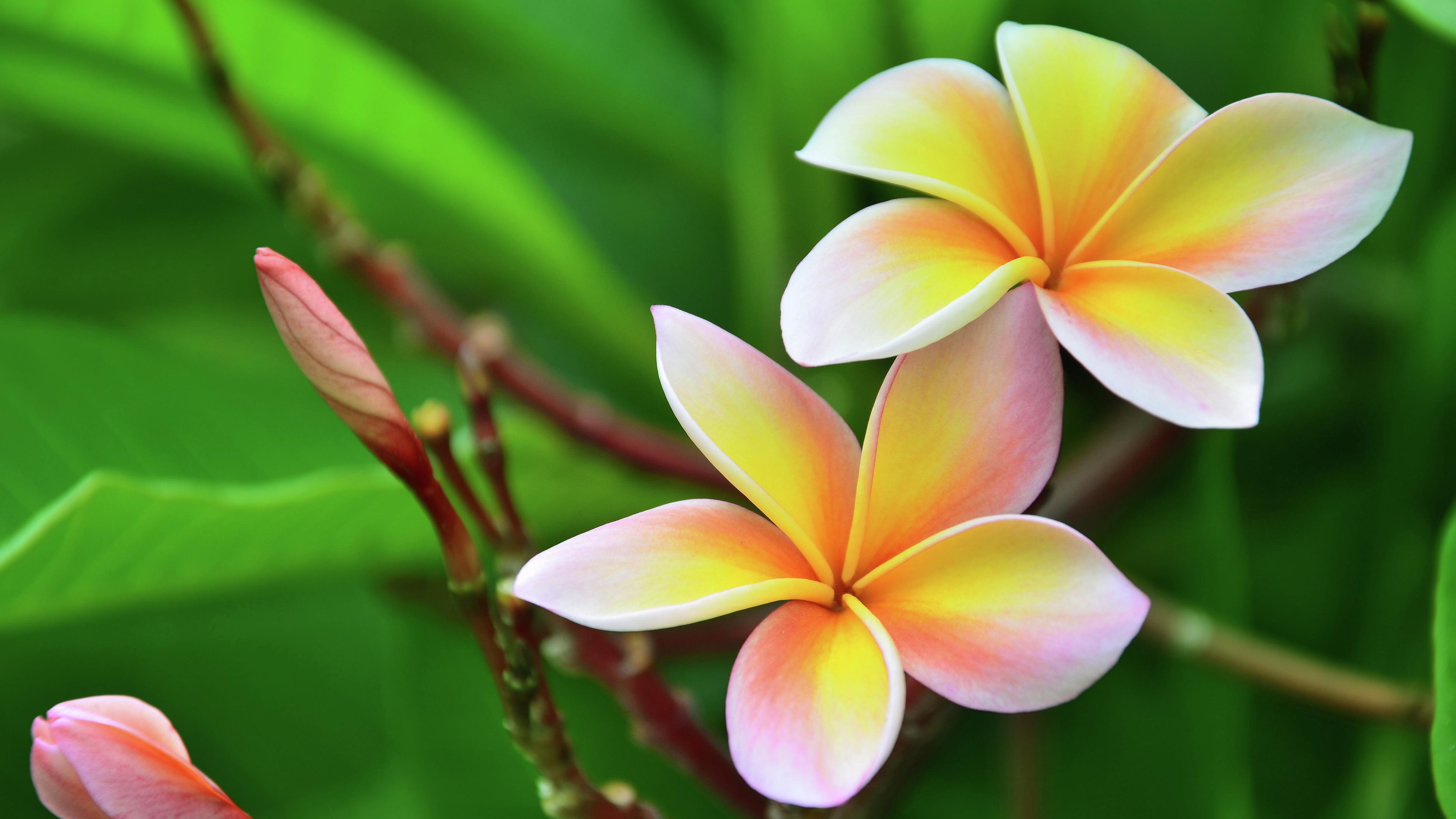 Yellow, pink and white frangipani flowers