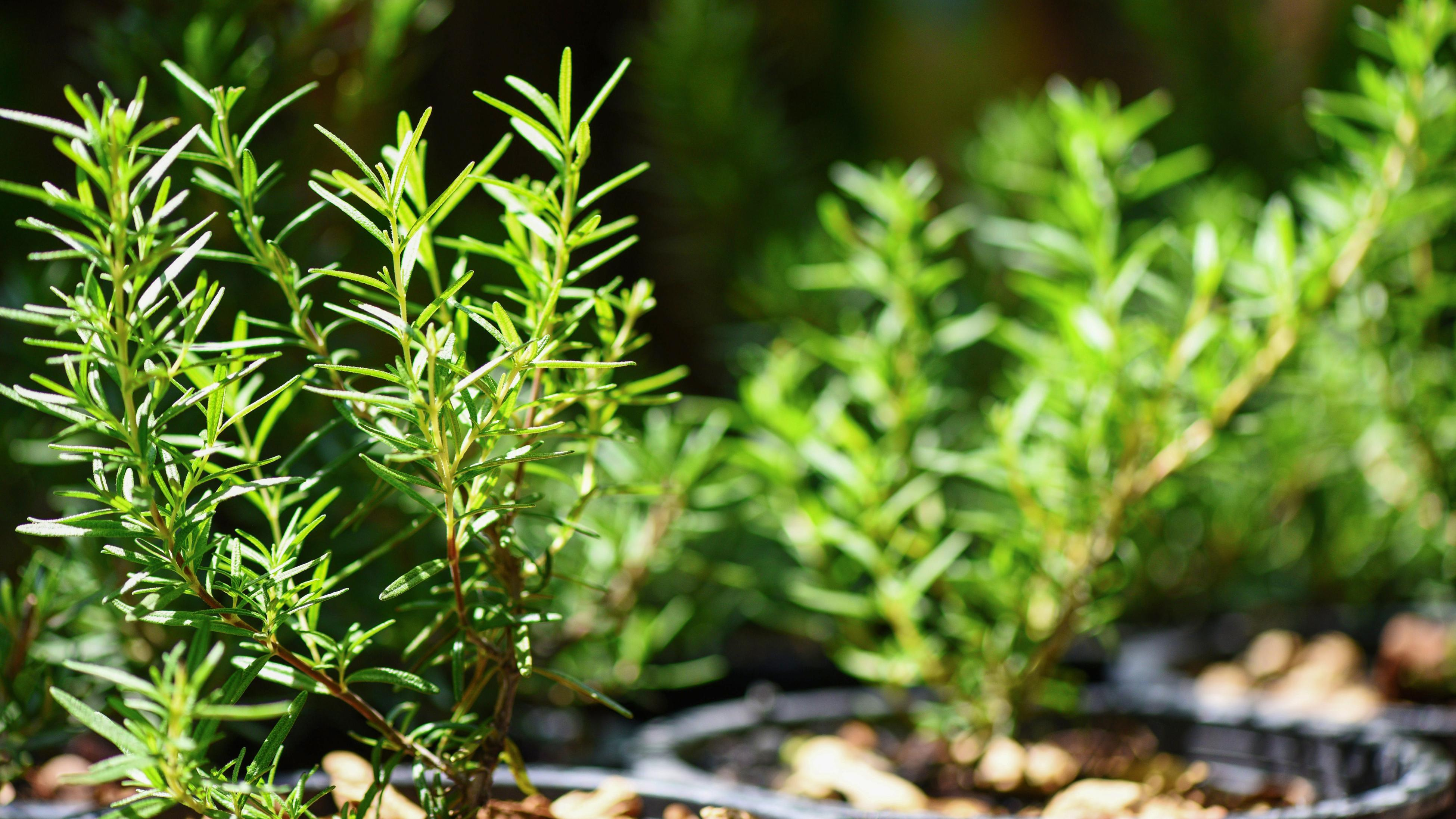 Close up of rosemary growing in a garden