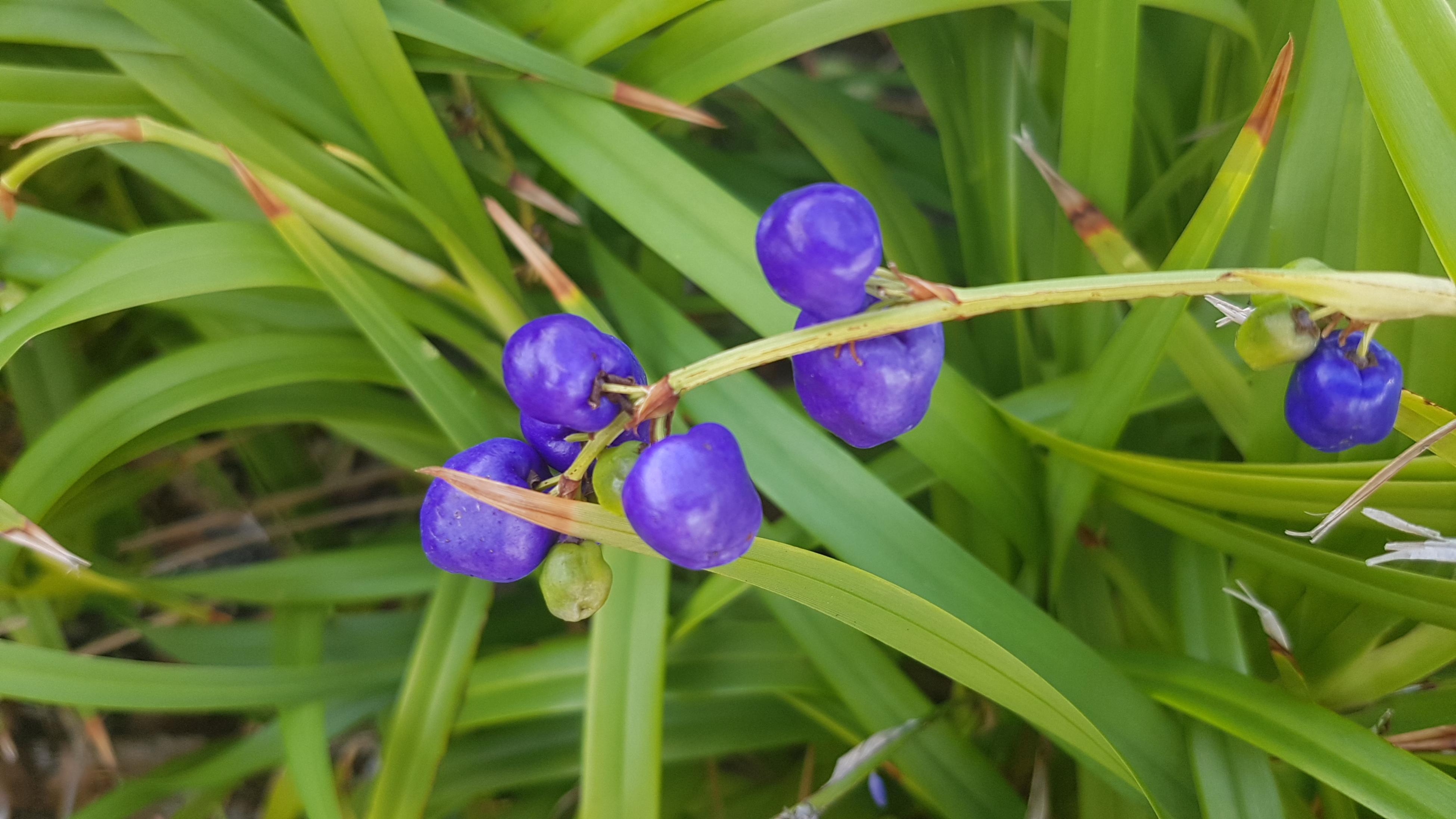 A blueberry lily bush with fruit