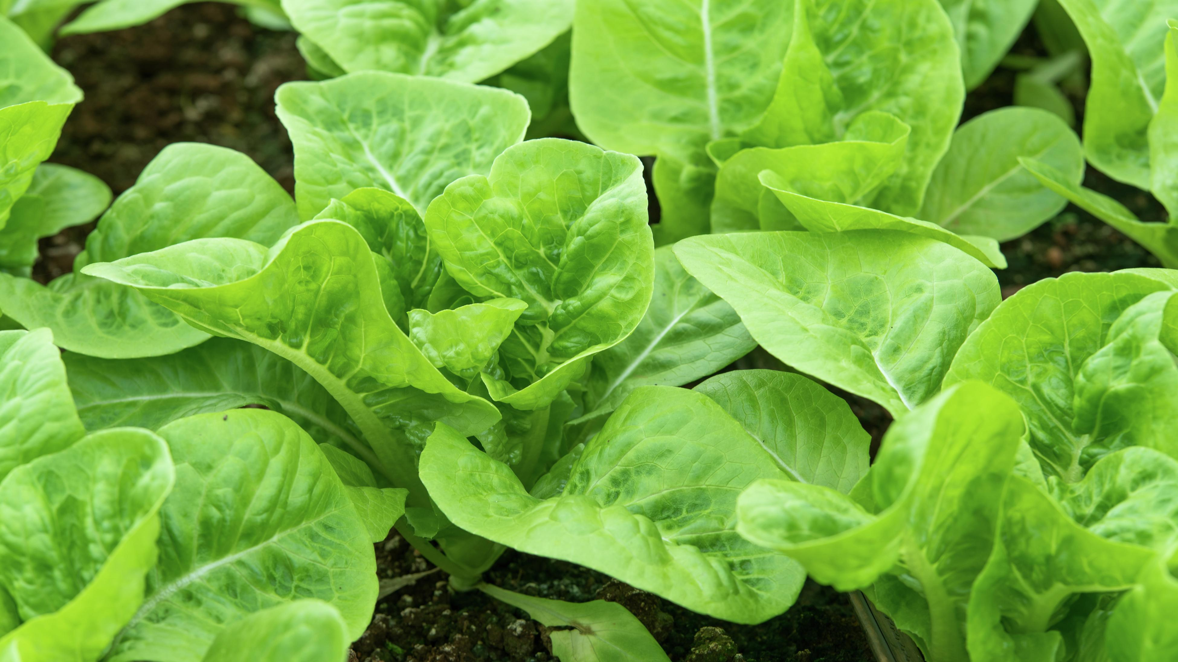 Fresh cos lettuce growing in a vegetable garden