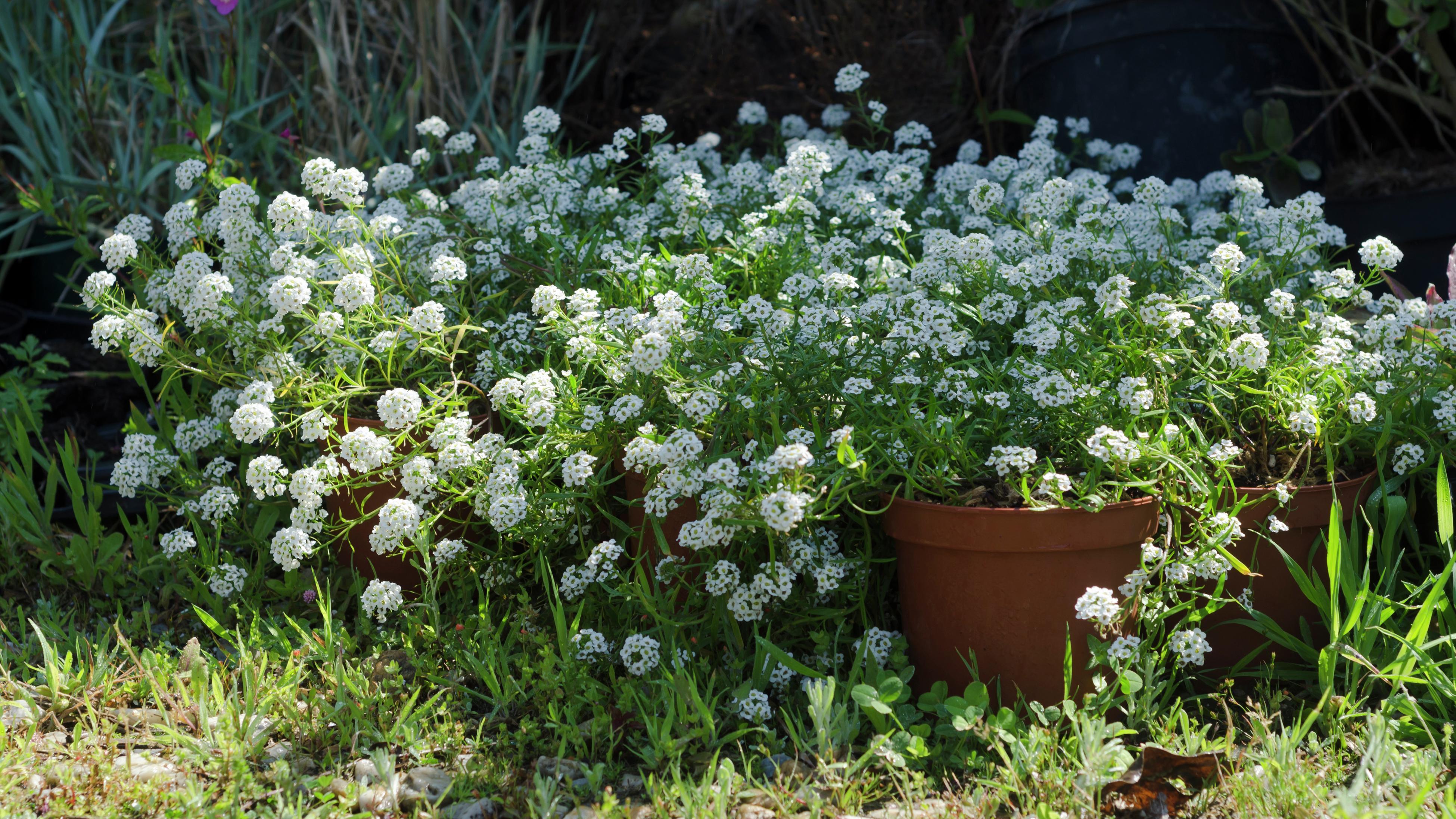Sweet alyssum plants growing in terracotta pots