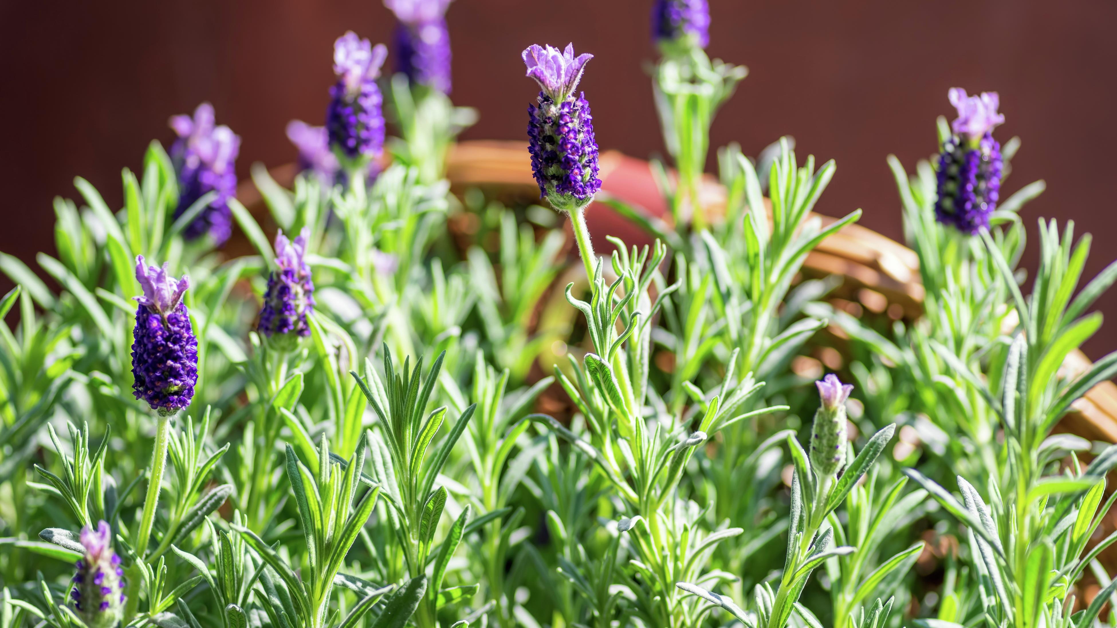 Lavender growing in a terracotta planter