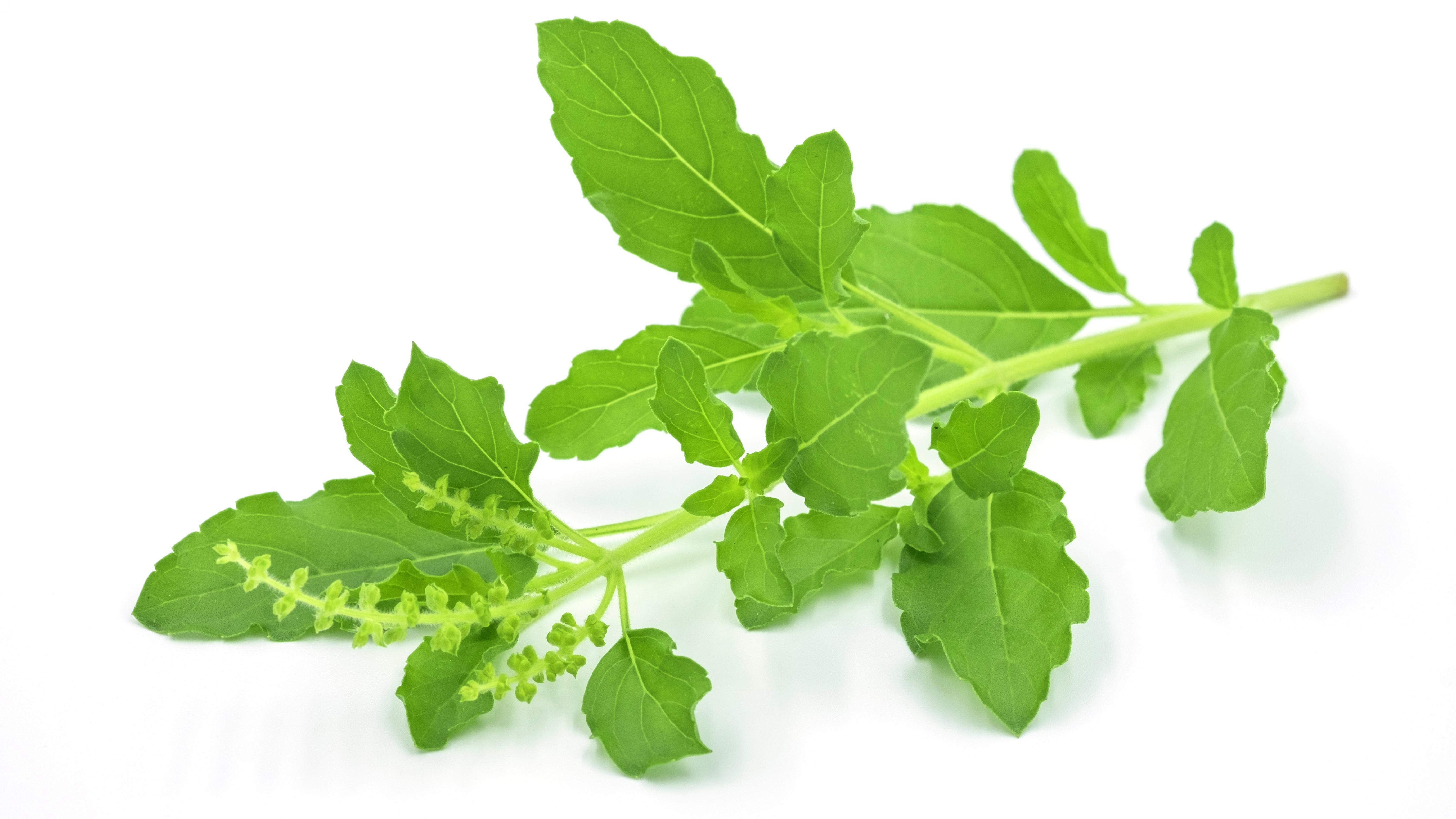 Tulsi, or holy basil leaves