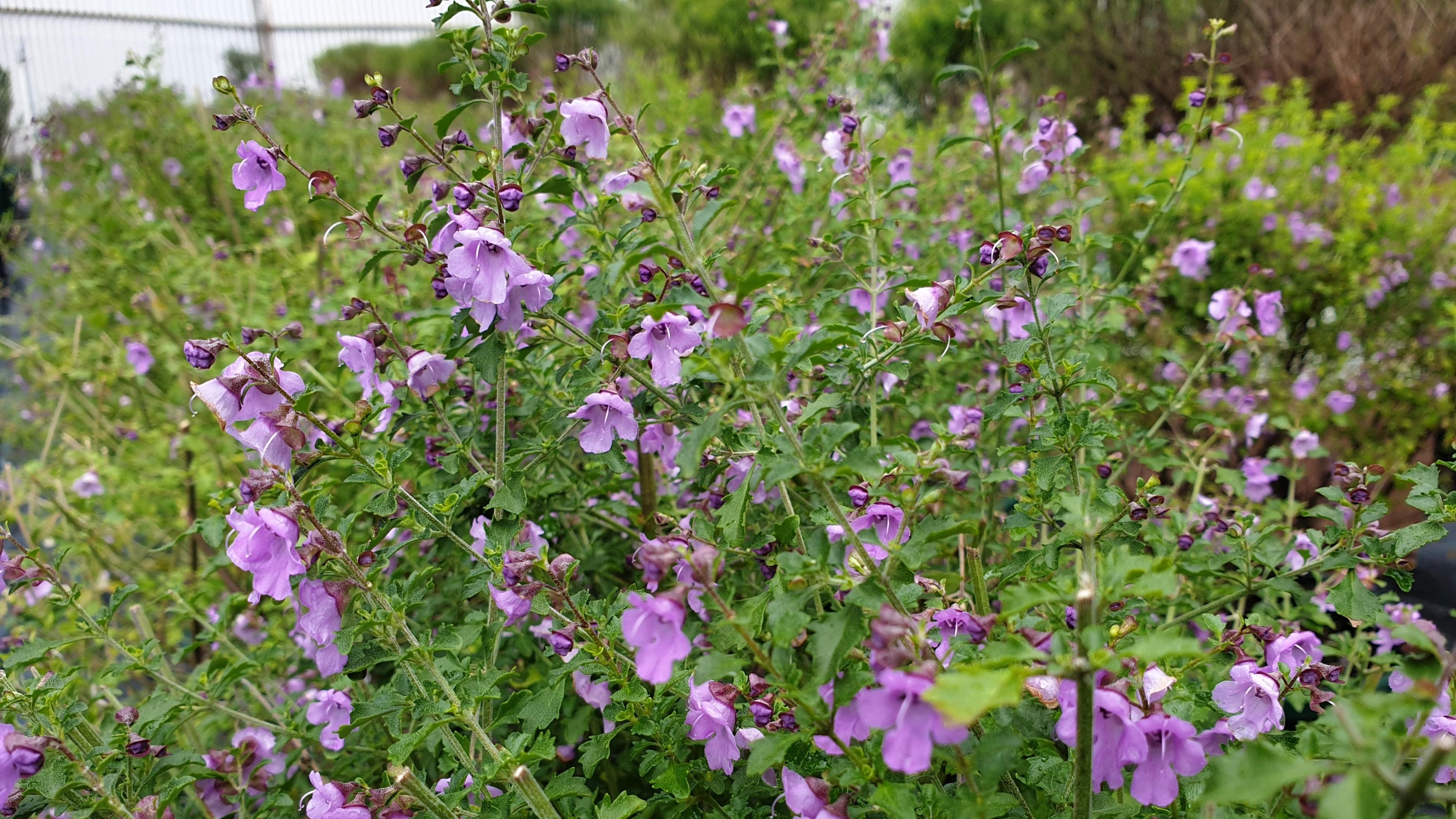 A native thyme plant with purple flowers