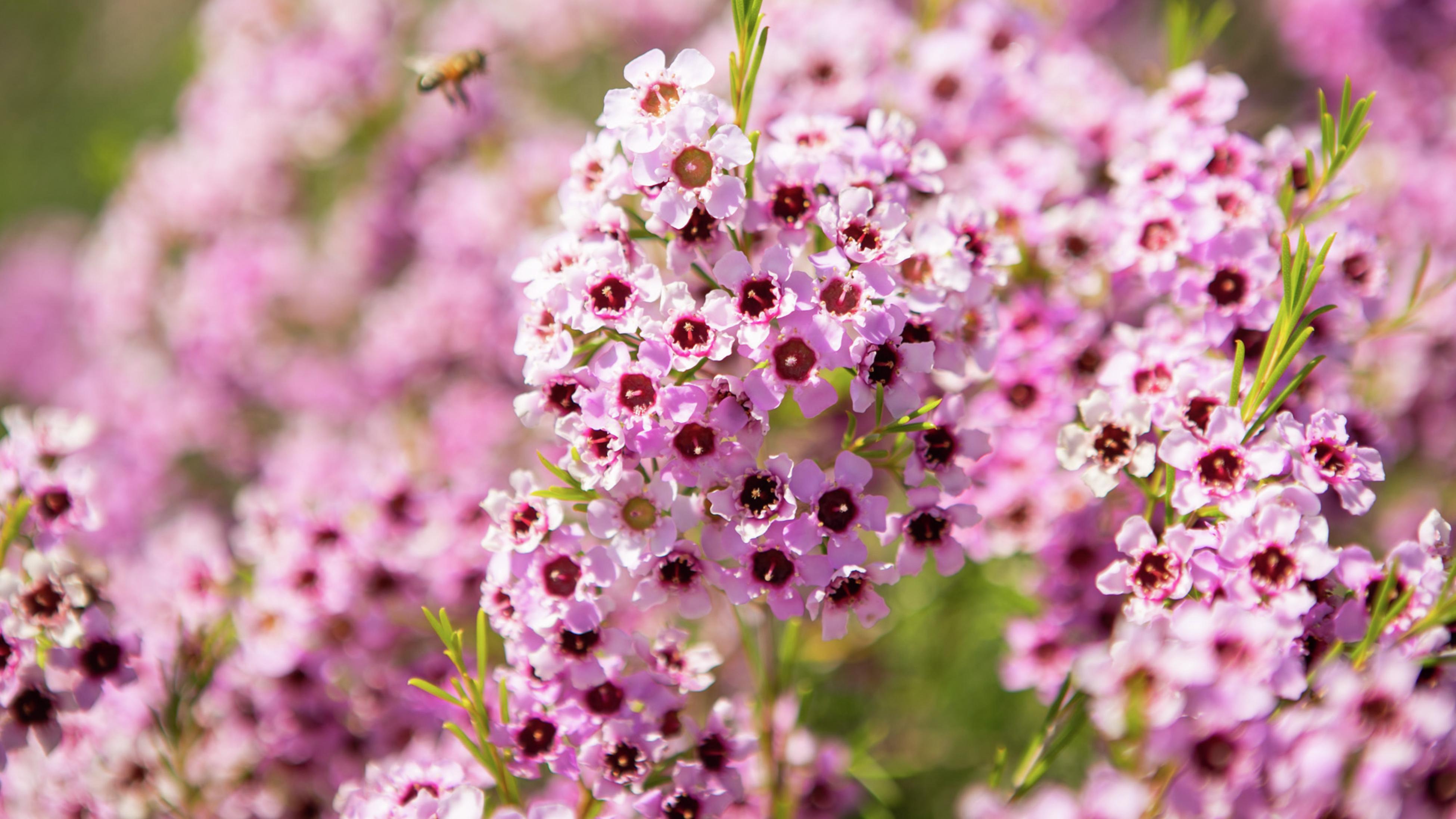A bee on the purple flowers of a Chamelaucium 'Jambinu Zest ' bush