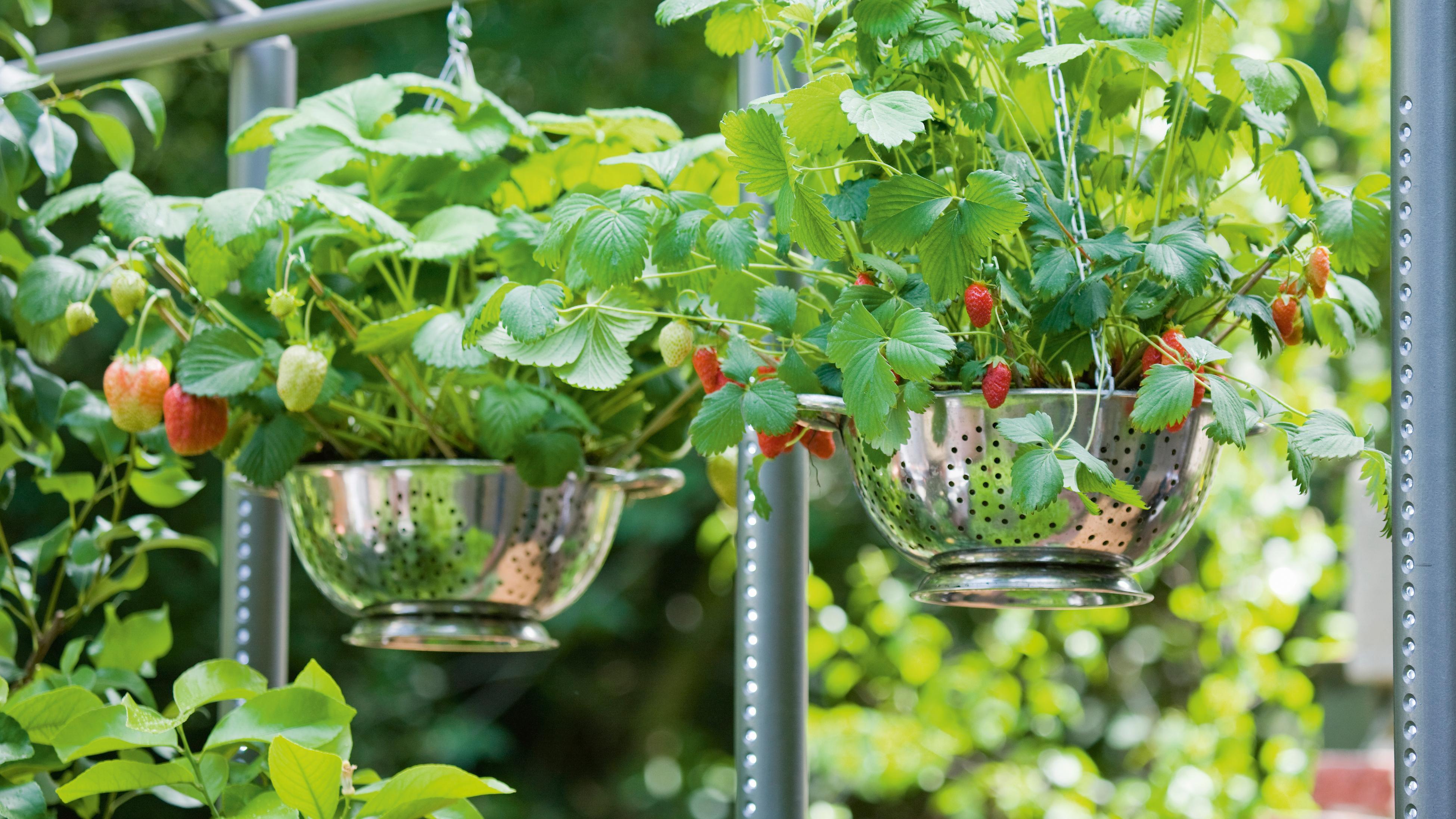 Strawberries growing in metal colanders